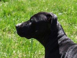 Léa, chien American Staffordshire Terrier
