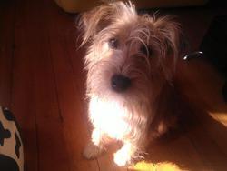 Léa, chien Fox-Terrier