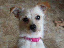 Léa, chien Chihuahua