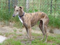 Léa, chien Lévrier espagnol