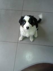 Léa, chien Border Collie
