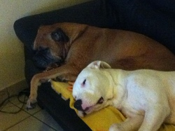 Leady, chien Boxer