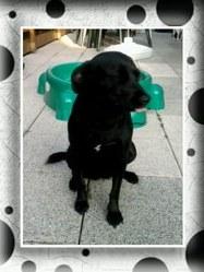 Léann, chien Labrador Retriever