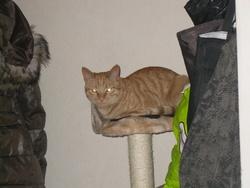 Leattle, chat Européen