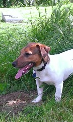Lebowsky, chien Jack Russell Terrier