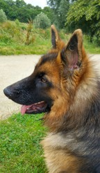 Lecky, chien Berger allemand