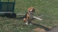 Lecky, chien Beagle