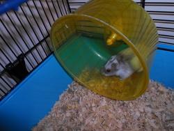 Leelo, rongeur Hamster