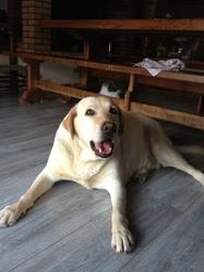 Leeloo, chien Labrador Retriever