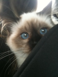 Leeloo, chat Birman