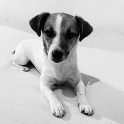 Leeloo, chien Jack Russell Terrier