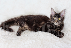 Leeloo De Cloadel, chat Maine Coon