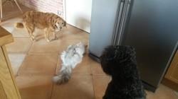 Leelou, chien Bouvier des Flandres