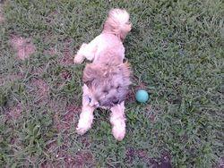 Leen, chien Lhassa Apso