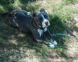 Leeroy, chien American Staffordshire Terrier