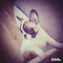 Leeroy, chien Bouledogue français