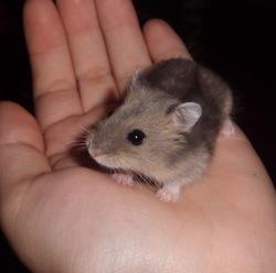 Leeyum, rongeur Hamster