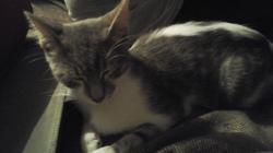 Leffy, chat Européen