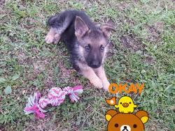 Légionnaire Dragunov, chien Berger allemand