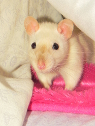 Leia, rongeur Rat