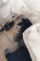Leia, chien Carlin