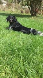 Leia, chien Épagneul breton