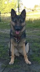 Léia, chien Berger allemand