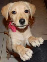 Leia Eden, chien Labrador Retriever