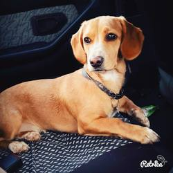 Leika, chien