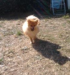 Leika, chien Spitz allemand