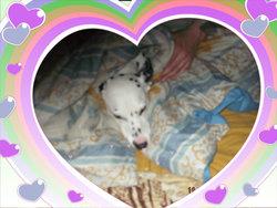 Leika, chien Dalmatien