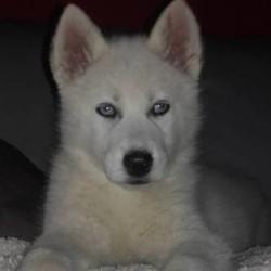 Leika, chiot Husky sibérien