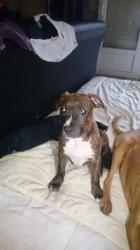Leika, chien American Staffordshire Terrier