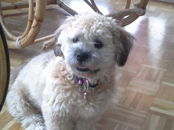 Leika, chien Lhassa Apso