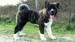 Leiko, chien Akita américain
