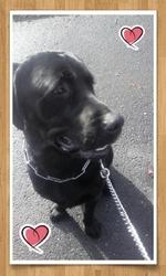 Leiko, chien Labrador Retriever