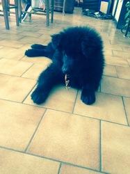 Leiko, chien Samoyède