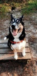 Leiko, chien Husky sibérien
