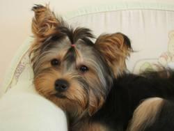 Leila, chien Yorkshire Terrier
