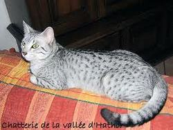 Leila, chat Mau Egyptien