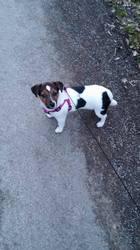 Leila, chien Jack Russell Terrier