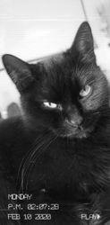 Leila, chat Gouttière