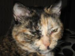 Leîla, chat Européen