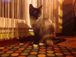 Leiloa , chat Siamois