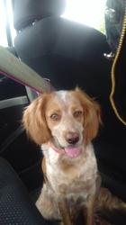 Lëla, chien Épagneul breton