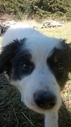 Leila, chien Border Collie