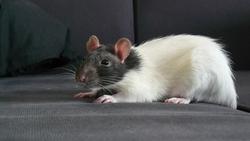 Lemiwings, rongeur Rat