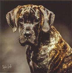 Lemmy, chien Cane Corso