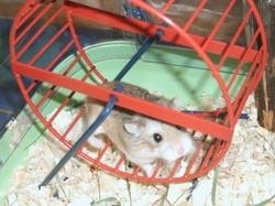Lempika, rongeur Hamster