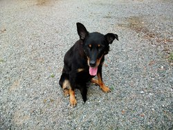 Lena, chien Beauceron